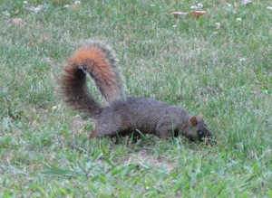 IMG_4336_fox squirrel