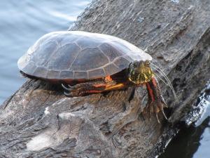 IMG_4984_turtle