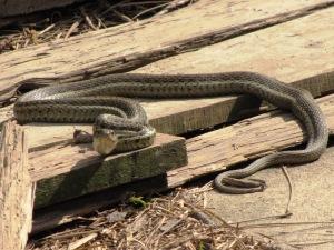IMG_8655_Garter Snake2