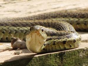 IMG_8657_Garter Snakeb