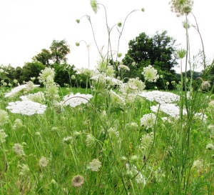 IMG_8982_queen annes lace3jpg