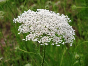 IMG_8985_queen annes lace4