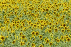 IMG_0360c_field of sunflower