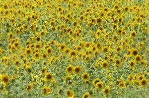 IMG_0360c_field of sunflower