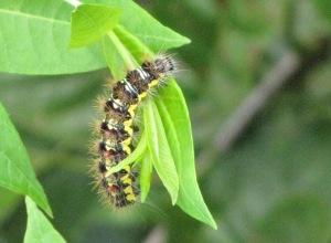 IMG_0749_caterpillar