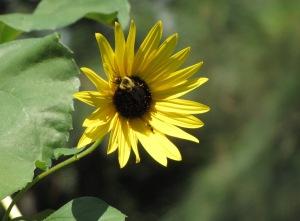 IMG_1425__field of sunflower