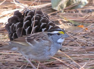 IMG_6586_White-throated Sparrow