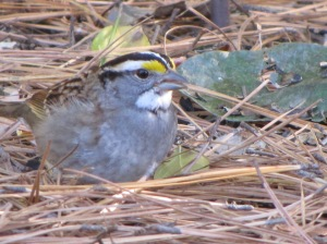 IMG_6588_White-throated Sparrow