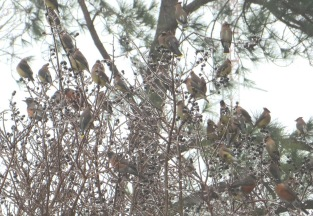 IMG_7163_flock of robins mixed with waxwings