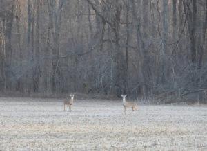 IMG_6511_two deer