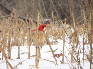 IMG_8371_cardinal