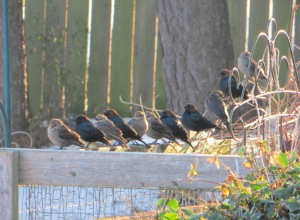 IMG_8517b_Brown-headed cowbird_uninvited guests come to dinner