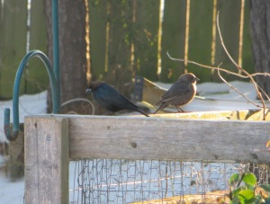 IMG_8519_Brown-headed cowbird