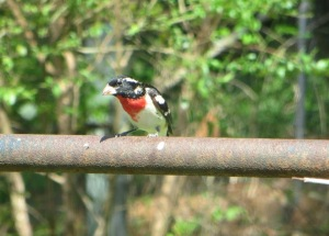 IMG_0852_Rose-breasted Grosbeak