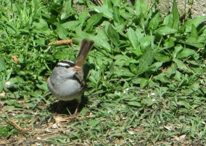IMG_0876_White-crowned Sparrow