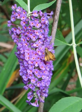 IMG_2691b_on butterfly bush