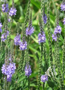 IMG_3740_Vervain