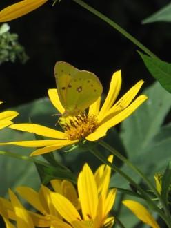 IMG_6516_Orange Sulphur Butterfly - Colias eurytheme