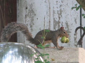 IMG_6643_squirrel with pecans