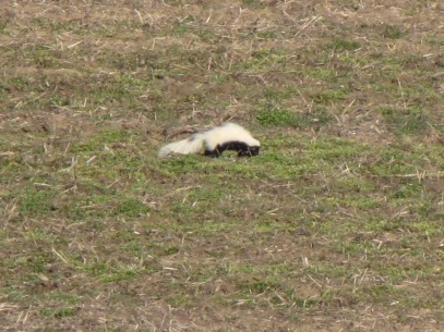Foraging skunk