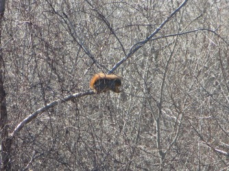 Fox squirrel sitting in some trees