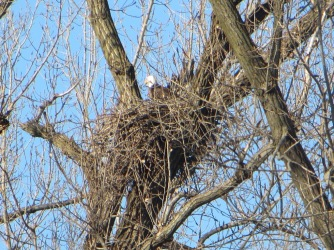 Eagle nesting along the Mississippi river