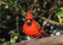 IMG_6929_cardinal2