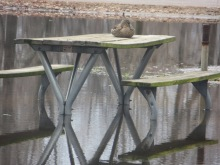 Duck on a campground picnic table