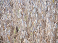 Soybeans before harvest