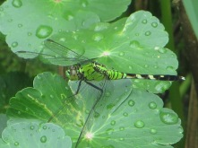 Common (Eastern) Pondhawk