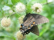 Swallowtail_black