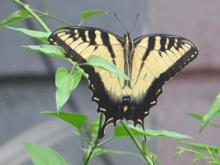 Swallowtail_yellow