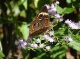 common-buckeye-on-mist-flower