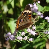 common-buckeye-on-mist-flower