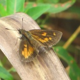 fiery-skipper