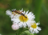flower-longhorn-beetle