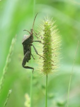 leaf-footed-bug