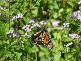monarch-on-mist-flower