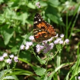 painted-lady-on-mist-flower