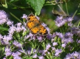 pearl-crescent-on-mist-flower