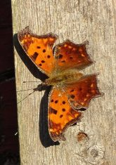 question-mark-butterfly-sunning-on-a-fence-post