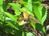 snowberry-clearwing-moth