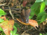swallowtail-on-autumn-leaf