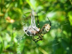 black-and-yellow-garden-spider-with-dragonfly