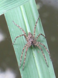 fishing-spider