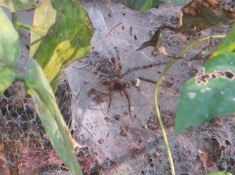 funnel-web-spider2