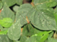 long-jawed-orbweaver