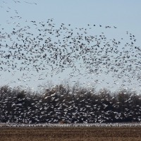 Stirring up the Snow Geese