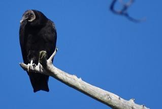 black-vulture2