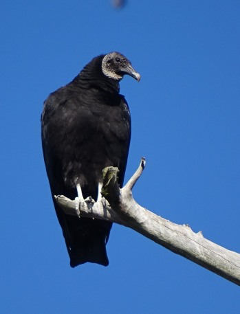 black-vulture3